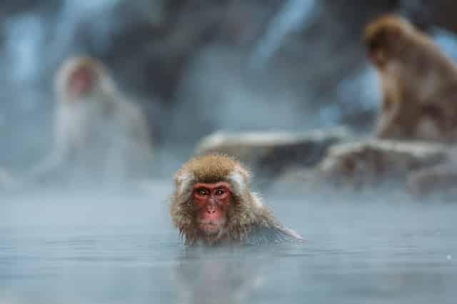 Monos en el agua